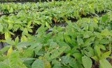 Kondisi benih unggul yang akan diberikan kepada petani dalam program pemberian bibit unggul 500 juta batang atau Bun500, di Palangka Raya, Kalimantan Tengah, Kamis (18/7).