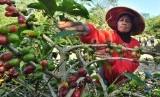 Tenaga petik memanen kopi Arabika di bukit Sekendhil, Afdeling Gebugan