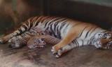 Harimau Sumatra (ilustrasi)