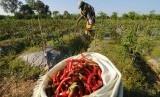 Harga cabai merah keriting di sejumlah pasar tradisional Baturaja, Kabupaten Ogan Komering Ulu, Sumatera Selatan, saat ini tembus di angka Rp 80.000/kilogram (Kg) (Ilustrasi petani panen cabai)