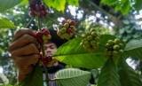 Produk kopi robusta Gapoktan Gunung Kelir semakin diterima pasar kopi internasional. Ilustrasi.