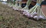 Petani Bawang Putih. Untuk mengurangi impor, Kementan menetapkan wajib tanam bawang putih kepada para petani.