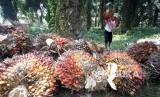 Buruh kerja memanen kelapa sawit di perkebunan. ilustrasi