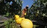 Petani memanen buah melon.
