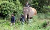 Gajah sumatra jinak