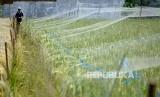 Sawah. Para petani nasional agar mewaspadai rebah tanaman yang rawan terjadi saat musim hujan.