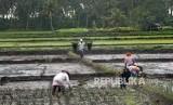 Sejumlah petani menanam padi di Kampung Tapos, Cadasari, Pandeglang, Banten, Selasa (11/2/2020).