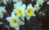 Amaryllidaceae narcissus