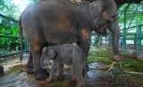 Anak gajah dan induknya (ilustrasi)