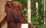 Anak orangutan melihat ke arah orangutan dewasa. Ilustrasi