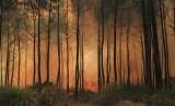 Api membakar kawasan hutan pinus (ilustrasi)