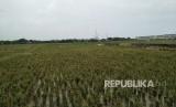 Area pertanian Banjir Kanal Timur, Cakung Timur, Jakarta Timur. Rabu (24/1).