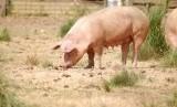 Pemerintah Kabupaten Bali tegaskan konsumsi babi yang sehat aman. Babi Ternak (Ilustrasi)
