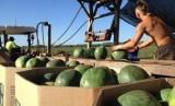 Banyak backpacker di Australia bekerja di pertanian untuk memanen produk buah-buahan dan sayuran.