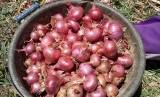 Bawang merah asal Bantaeng