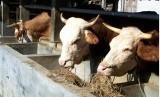 baznas tingkatkan pertanian / peternakan (ilustrasi)