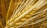 Bijian barley