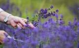Bunga lavender sedang dipetik.
