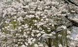 Bunga sakura di Jepang.
