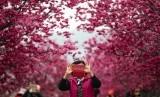 Bunga Sakura. Turis berfoto di bawah bunga sakura mekar di Taichung, Taiwan. Yae-Zakura adalah bunga sakura yang berlapis dua, lebih tebal dan kukuh dibanding bunga sakura satu lapis.
