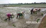 Buruh tani di Desa Kalijati, Kecamatan Jatisari, Karawang