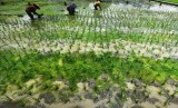 Buruh tani menanam bibit padi di area persawahan di Surabaya, Jawa Timur, Rabu (30/3).