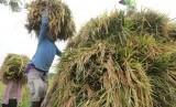 Produksi Beras Nasional: Buruh tani mengangkut padi ke dalam truk usai dipanen di area persawahan Desa Sekaran, Kediri, Jawa Timur, Senin (4/3/2019).