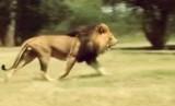 Polda Riau berhasil menggagalkan penyelundupan satwa dilindungi, termasuk singa afrika. Foto: Singa Afrika