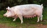 Demam babi Afrika menjangkit babi ternak.