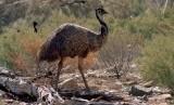 Emu, hewan khas Australia