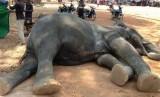 Gajah betina mati di Angkor Wat