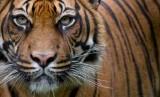 BKSDA Sumsel Kerahkan Petugas Cek Harimau Masuk Perangkap