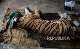 Balai Penegakan Hukum Kementerian Lingkungan Hidup dan Kehutanan (KLHK) wilayah II Sumatera menggandeng Polda Riau dalam memburu sindikat penjualan gelap organ harimau sumatera (Panthera tigris sumatrae).