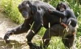 Hewan simpanse.