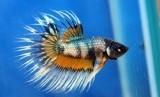 Ikan cupang (ilustrasi)