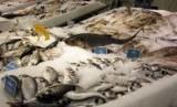 Ikan Tuna untuk komoditi ekspor (Ilustrasi)