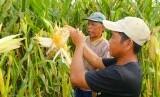 Ilustrasi areal tanaman jagung