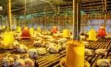 Guna menekan importasi, Kementan ajal swasta investasi di pembibitan indukan ayam.