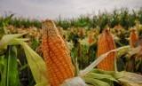 Ilustrasi panen jagung nasional