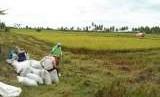 Ilustrasi produksi beras di tingkat petani