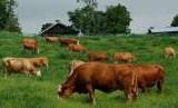 Angka kelahiran sapi lokal di dalam negeri mengalami peningkatan.(Ilustrasi)