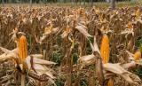 Kabupaten Grobogan sebagai salah satu penyangga pangan Provinsi Jawa Tengah pada bulan Maret dan April melangsungkan panen raya padi dan jagung.