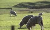 Peternakan domba (ilustrasi)