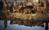 Keramaian suasana pasar hewan di Kabul, Senin (14/10). (AP/Anja Niedringhaus)