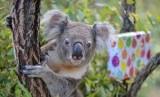 Koala, binatang endemik Australia, populasinya tertekan akibat kebakaran hutan.