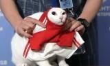 Kucing Achilles menebak hasil pertandingan Rusia lawan Arab Saudi di St.Petersburg, Rusia, Rabu (13/6).
