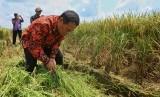 Menteri Pertanian Andi Amran Sulaiman membantu petani memanen padi