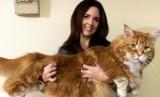 Omar, kucing jenis maine coon, yang mencoba mencetak rekor sebagai kucing terpanjang di dunia.