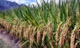 Panen perdana padi gogo bersama petani yang tergabung dalam Kelompok Tani (Poktan) Haur Tutul Desa Sukasari Kecamatan Pulosari.