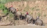 Pawang gajah atau mahout melakukan patroli gajah liar di Kawasan Conservation Response Unit (CRU) Serba Jadi, Aceh Timur, Aceh, Minggu (5/2).